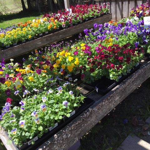 County Growers Share Tips For Starting Successful Flower Gardens